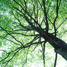 photo looking up into the branches of a tree