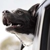 Photo of a dog in a new car purchased with a Mission Fed auto loan.